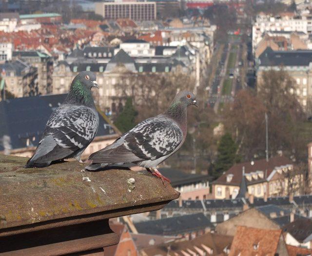 Tauben auf dem Straßburger Münster